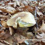Foto: raccolta di Funghi Porcini in una Faggeta