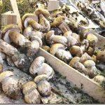 Funghi porcini al mercato di Firenze