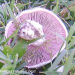 I funghi prataioli fioriscono nei nostri prati in autunno
