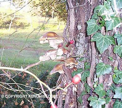 chiodini (Armillaria mellea)