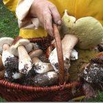 Bel canestro di funghi porcini