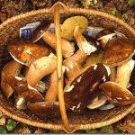 Bel canestro di funghi porcini appena raccolti