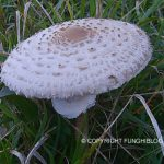 Una delle specie di fungo che preferisco le Mazze di Tamburo