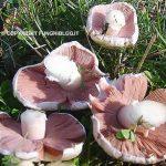 Una galleria di foto di funghi prataioli raccolti nel prato dietro casa
