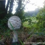 Cosa fare se si trova una mazza di tamburo ma il fungo non è ancora aperto completamente