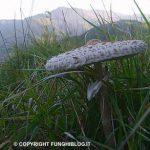 bella foto di  mazza di tamburo o per gli esperti Macrolepiota Procera